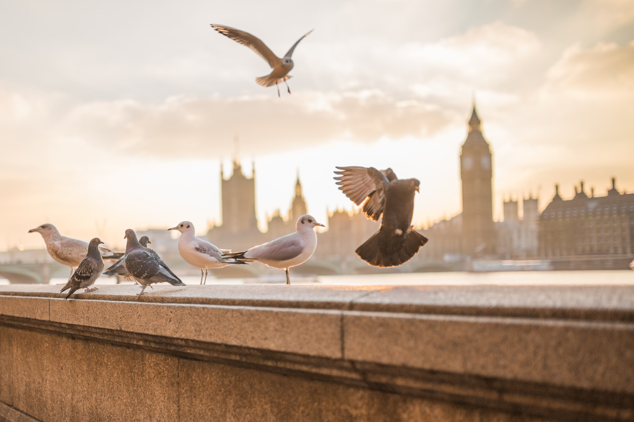 pigeons and sea gulls on a stone ledge with London's Big Ben in the background